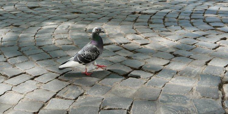 Pavés et pigeon liégeois - photo Roxana Cernicky