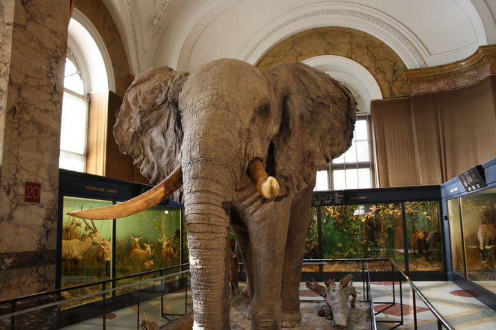 Royal_Museum_for_Central_Africa_Stuffed_Elephant_1.jpg