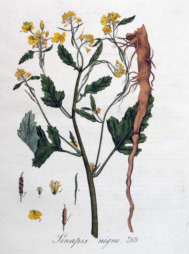 Moutarde Vve Tierenteyn-Verlent (plante)